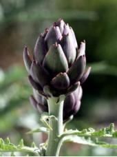 Artichaut Violet Bio d'Italie -500g