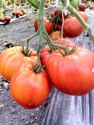 Tomate coeur de Boeuf Bio de France-500g (population, non hybride)