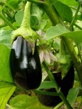 Aubergine noire bio d'Alsace France -500g
