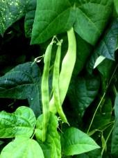 Haricots plats Bio d'Espagne- 500g