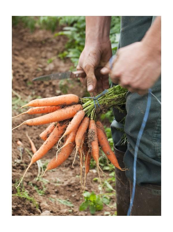 carotte nouvelle saison