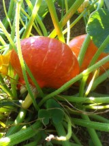 Potimarron orange Bio origine Pays Bas-le kg