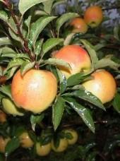 Pomme Golden de montagne Bio d'Italie-1 kg (à croquer, sucrée)