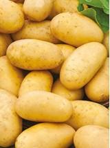 Pomme de terre Agria Bio de Moselle France- 1 kg (purée, potages, frites)