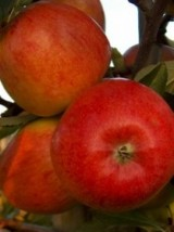 Pomme Reine des reinettes Bio d'Alsace France - 1kg