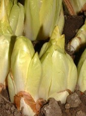 Endive Bio Witloof France- 500g