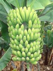 Banane extra de la Martinique - le kg