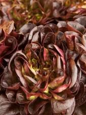 salade rougette de Montpellier Bio France -la pièce (petite)