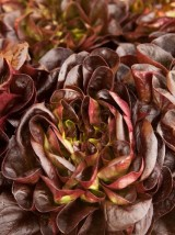 salade rougette de Montpellier Bio France -la pièce