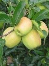 Pomme Goldrush Bio d'Italie - le kg (sucrée, juteuse)