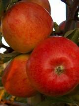 Pomme Rubinette Bio d'Alsace France- 1kg