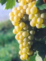 Raisin blanc Bio Alledo d'Espagne -500g