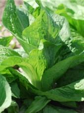 Salade Pain de sucre Bio de Moselle -la pièce