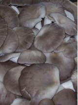 Pleurote Bio d'Allemagne - 250g vrac