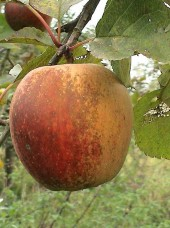 Pomme Boskoop Bio d'Alsace France- 1kg (acidulée, à croquer ou cuire)