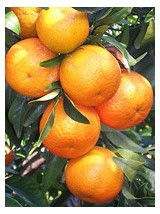 Mandarine Bio Nadorcott du Maroc- 500g