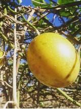 Fruit de la passion grenadelle Bio du Pérou - les 200g