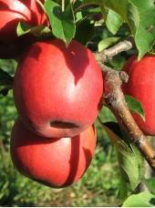 Pomme Ariane Bio de France-1 kg (petite, très bonne à croquer)