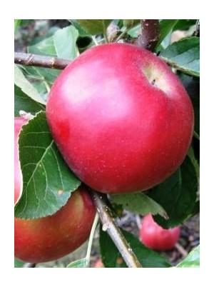 Pomme Idared Bio d'Allemagne- 1kg