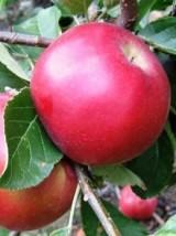 Mélange de Pommes à croquer Bio de France- 1kg