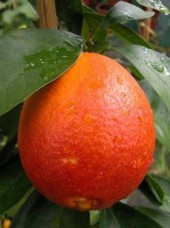 Orange dégustation Bio Azahar d'Espagne- 1 kg