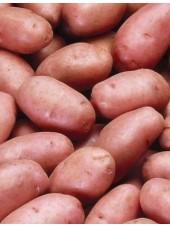 Pomme de terre rouge en conversion AB Rosabelle de Moselle France-1kg (chair ferme, salade)