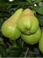 Poire Anjou verte/rouge Bio d'Argentine-500g