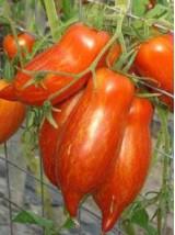 Tomate ancienne Bio striped roman de France- 500g