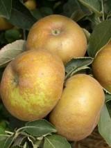 Pomme Reinette grise du Canada Bio Alsace France -1kg (compote, four)