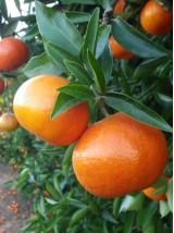 Mandarine Nardocott Bio du Maroc- 500g (sans pépin)