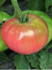 Tomate ronde rose Bio de France -500g  (douce et savoureuse)