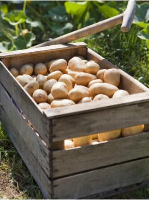 PDT Charlotte nouvelle récolte de France-1kg (chair jaune ferme)