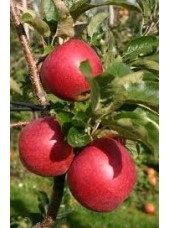 Pomme Natyra Bio d'Alsace France - 1kg