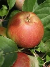 Pomme Braeburn Bio d'Allemagne- 1kg (légèrement acidulée)
