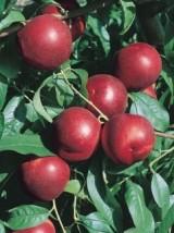 Nectarine blanche Bio de France- 500g