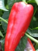 Poivron corne de boeuf rouge Bio Italie-500g (doux, plus digeste)